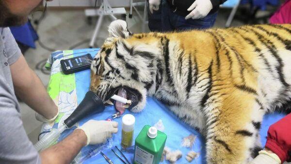 Хирургическая операция на поврежденной лапе тигра, отловленного в Пожарском районе Приморского края