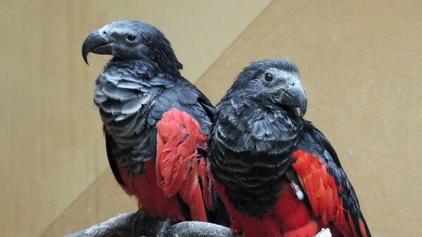 Орлиные попугаи