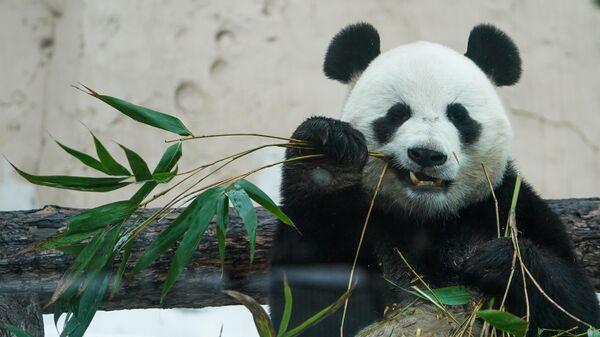 Самец большой панды по кличке Жуи в Московском зоопарке