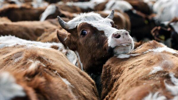 Коровы на территории животноводческого хозяйства Партизан в Крыму