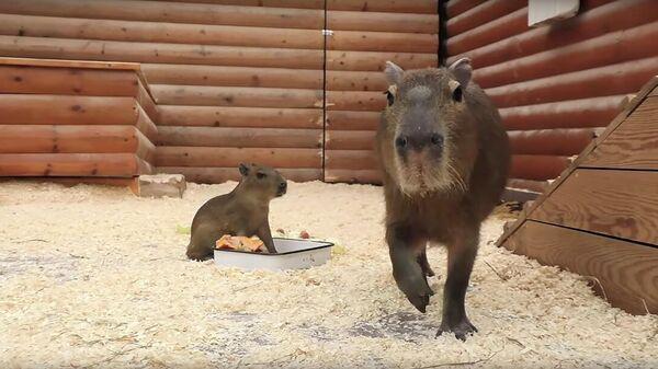 В Ленинградском зоопарке появился на свет детёныш капибары. Кадр видео