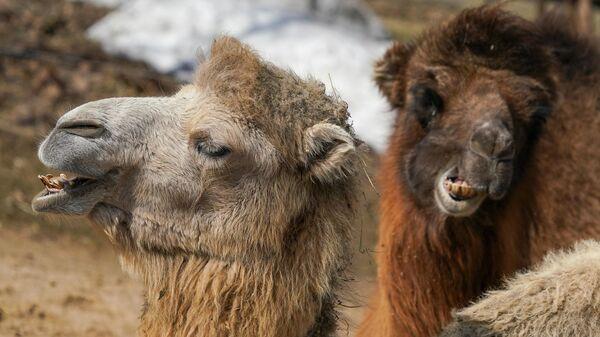 Верблюд двугорбый в вольере Московского зоопарка