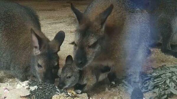 Новые кенгурята в Ленинградском зоопарке