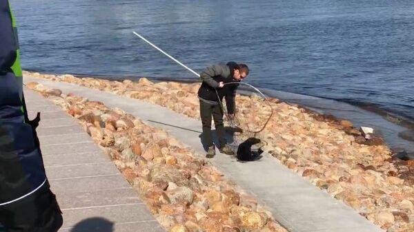 Спасение тюленя у Лахта-центра в Санкт-Петербурге