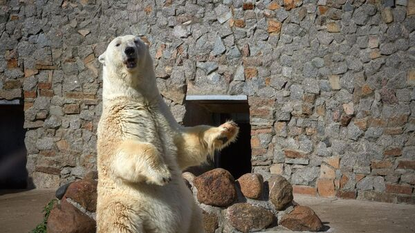 Символ Ленинградского зоопарка - белая медведица Услада
