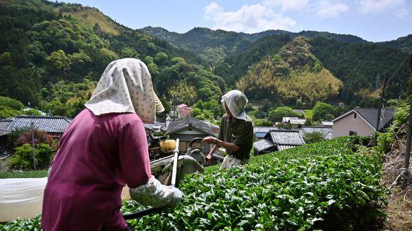Японские фермеры  собирают зеленые чайные листы матча