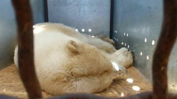 Медведица в транспортной клетке. Скриншот видеозаписи