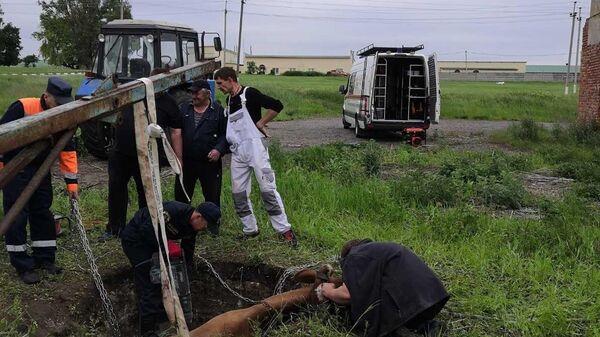 Сотрудники поисково-спасательной службы Белгородской области достают упавшую в яму корову