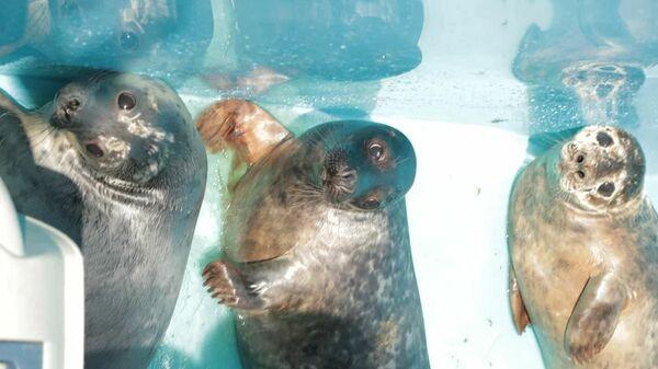 Четыре серых тюленя вернулись в Финский залив после реабилитации в Центре изучения и сохранения морских млекопитающих