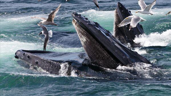 Горбатые киты кормятся на территории морского заповедника Stellwagen Bank около мыса Кейп-Код, недалеко от Провинстауна, штат Массачусетс