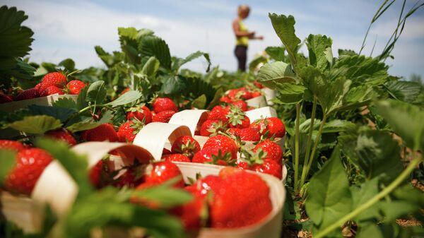 Сбор урожая клубники в Краснодарском крае