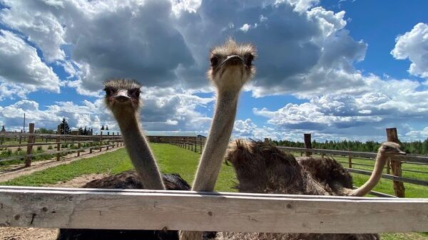Страусы на экоферме Изборский страус