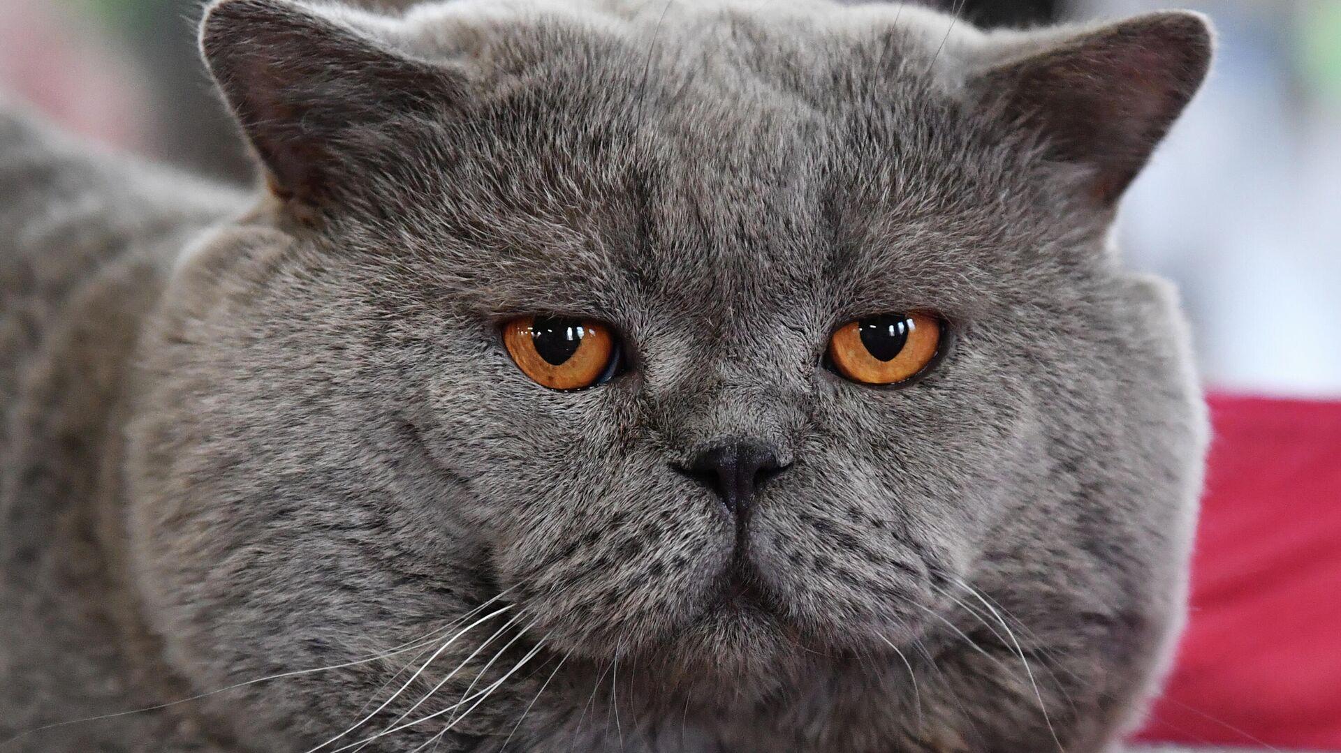 Кошка породы британская на выставке КоШарики-Шоу в Москве - РИА Новости, 1920, 21.06.2021