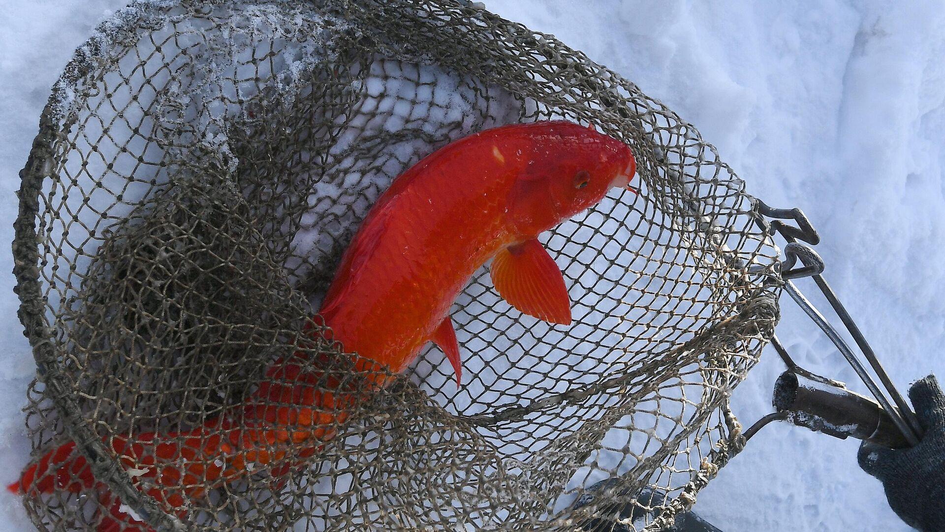Красный японский карп кои породы огон на рыбной ферме - РИА Новости, 1920, 17.06.2021