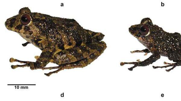 Лягушка Pristimantis ledzeppelin