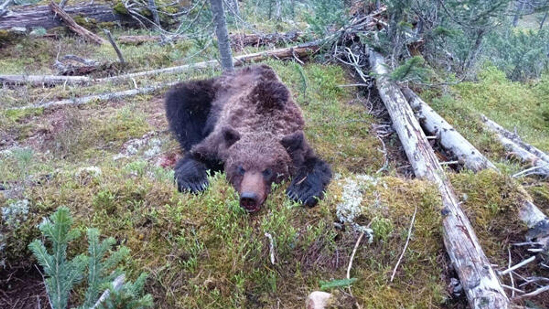 Застреленный медведь в природном парке Ергаки - РИА Новости, 1920, 29.07.2021