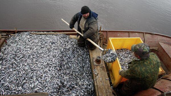 Рыбаки перегружают выловленную корюшку в ящик для дальнейшей транспортировки