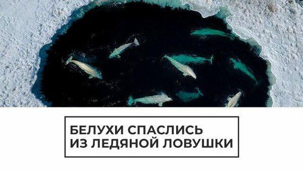 Путь к свободе: белухи выбрались из ледяного плена