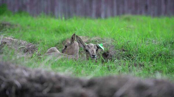 Недавно родившиеся в Подмосковье малыши редкой газели резвятся в вольере