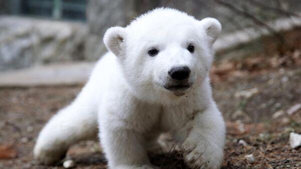 Детеныш белого медведя на прогулке в сафари-парке Геленджика