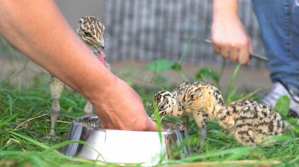 Птенцы большой дрофы в Центре воспроизводства редких видов животных Московского зоопарка