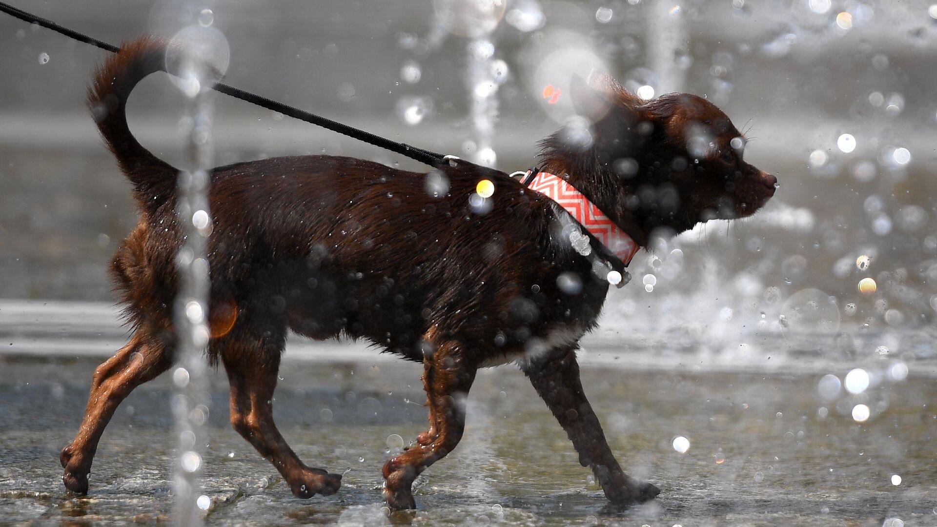 Собака гуляет в фонтанах в парке искусств Музеон - РИА Новости, 1920, 02.09.2021