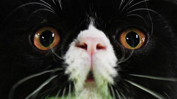 Кошка породы экзотическая  на выставке КоШарики Шоу в Москве