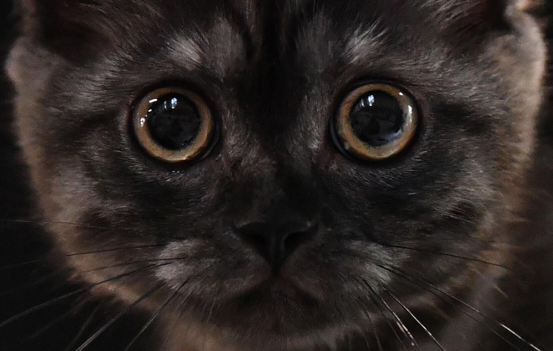 Кошка британской породы на выставке КоШарики Шоу в Москве - РИА Новости, 1920, 28.09.2021