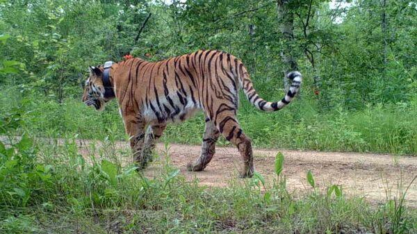 Тигрица Лазовка на территории Китая