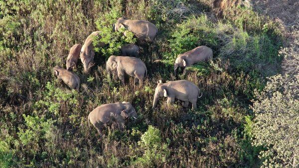 Миграция стада слонов в китайской провинции Юньнань
