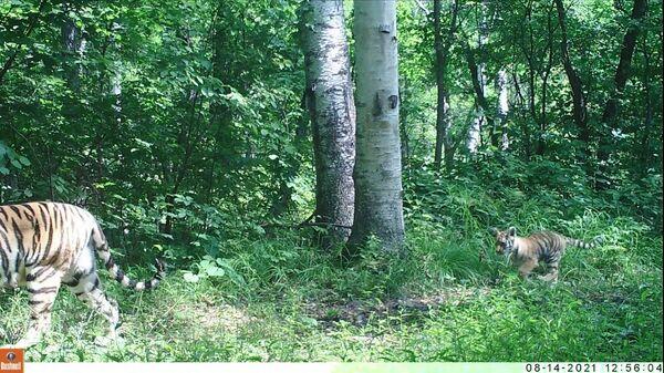 Амурская тигрица с тигренком в Сихотэ-Алинском заповеднике. Кадр видео