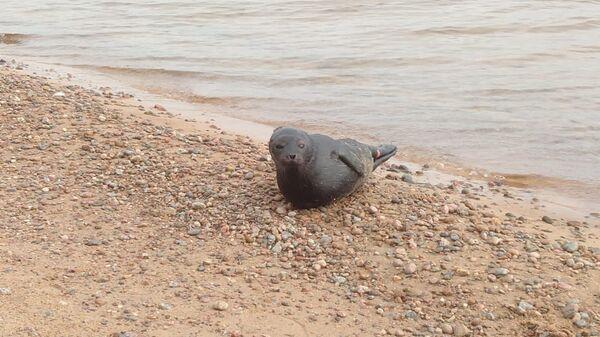 Нерпа, найденная на побережье Ладожского озера