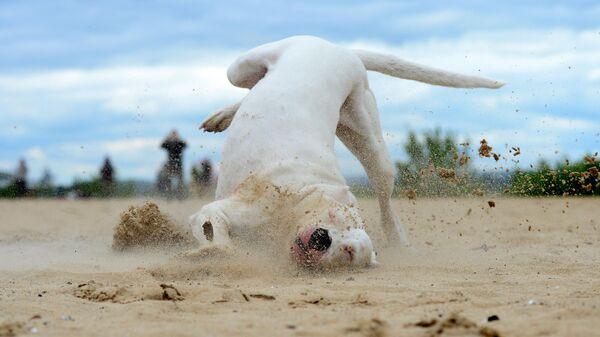 Аргентинский дог во время тренировки собак по курсингу