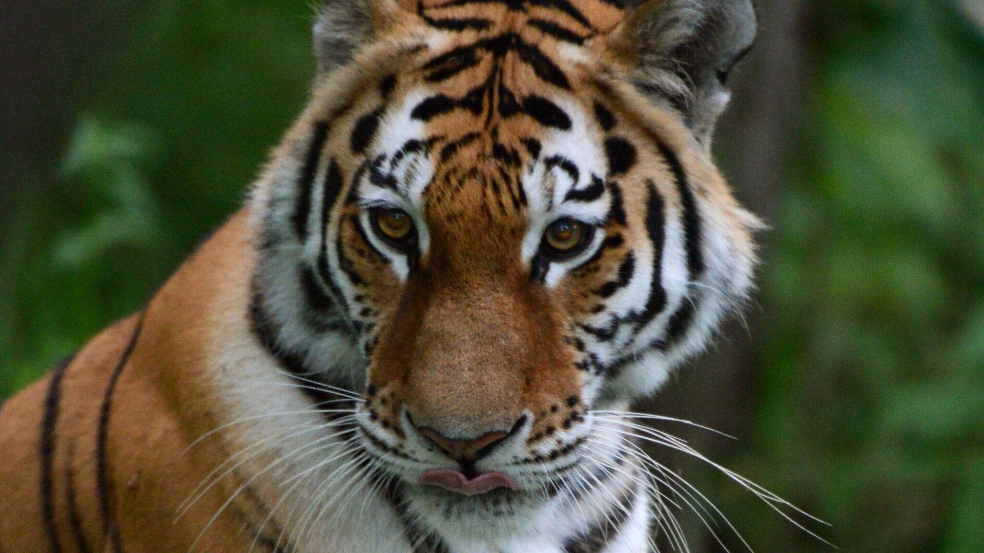 Путин пообещал Казахстану помощь специалистов в восстановлении популяции туранских тигров