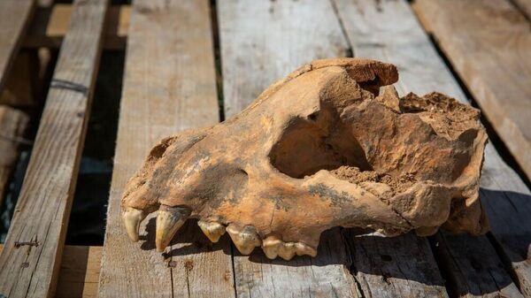 Череп ископаемой гигантской гиены пахикрокуты