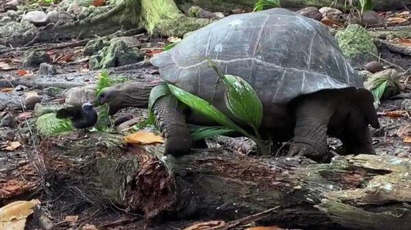 Черепаха охотится на птенца крачки