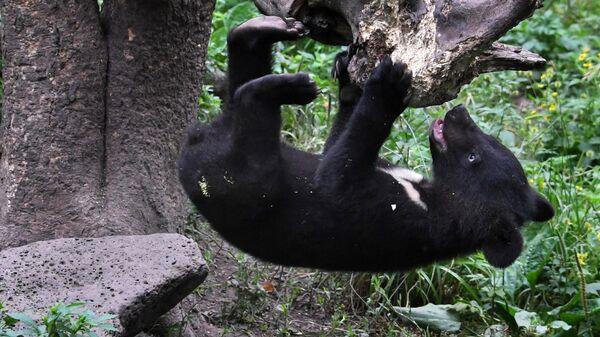 Гималайский медвежонок