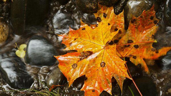 Опавшие кленовые листья