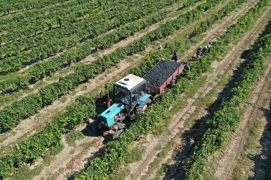 Ручная уборка винограда в агрофирме Южная - крупнейшем виноградарском предприятии России, сырьевой базе винодельни Кубань-Вино.