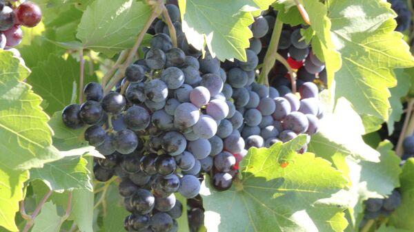 Развитие виноградарства в Ставрополе