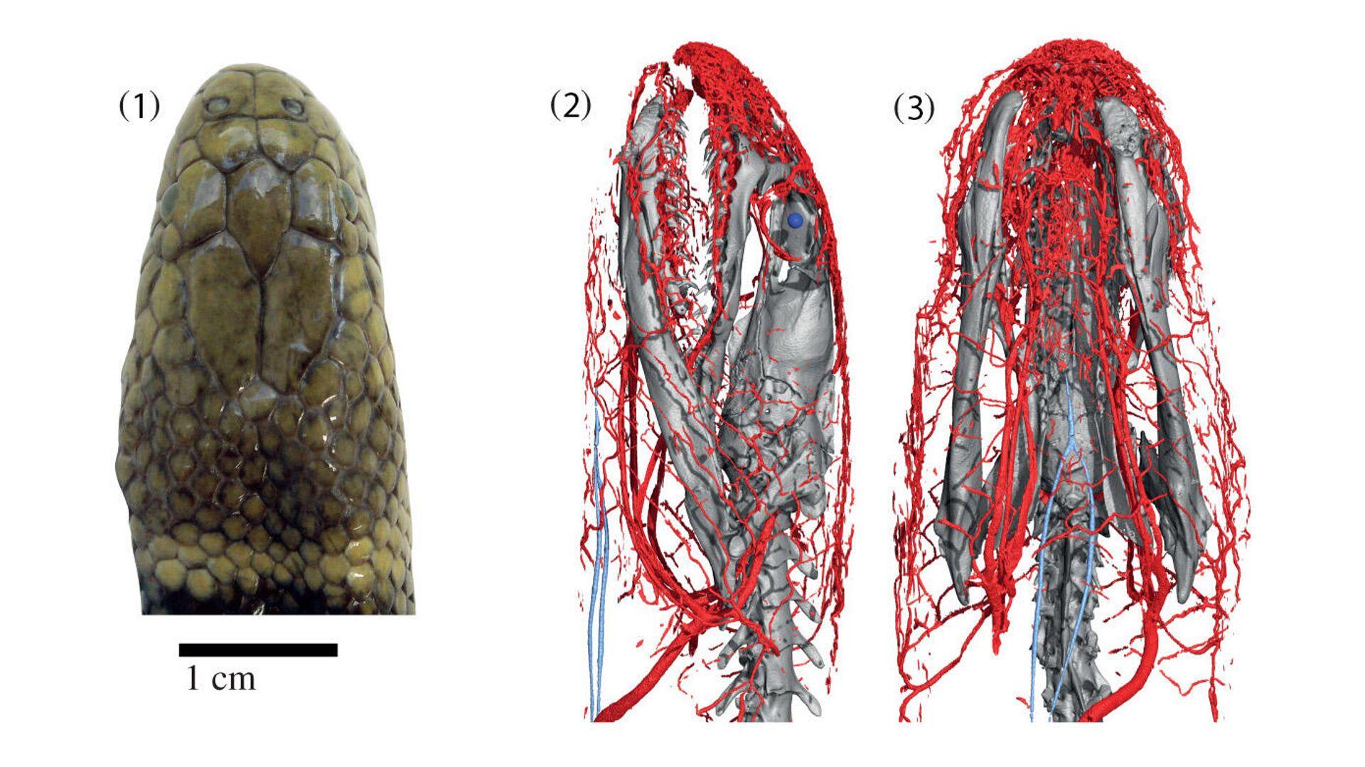Голова змеи Hydrophis cyanocinctus (синяя морская змея) и ее кровеносные сосуды - РИА Новости, 1920, 24.09.2021