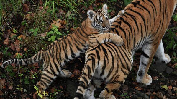 Четырехмесячный тигрёнок с амурской тигрицей Уссури в вольере Приморского сафари-парка