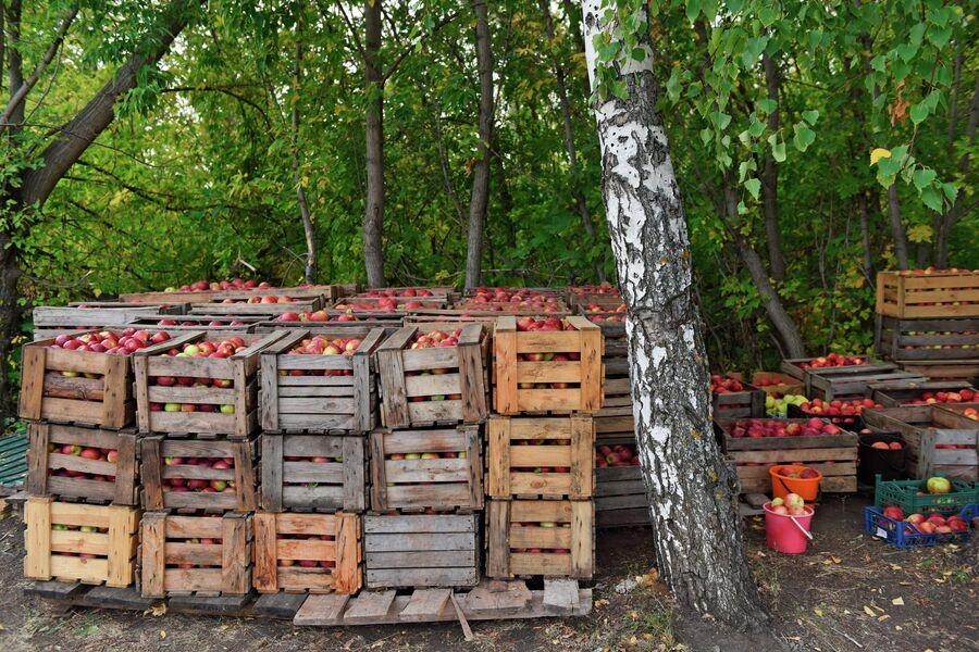 Сбор урожая в яблоневых садах Хвалынского района Саратовской области