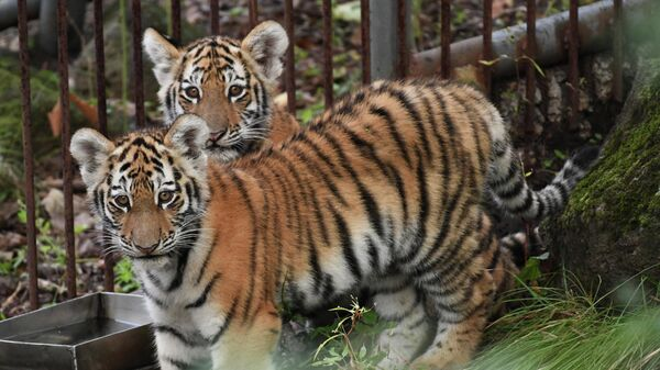 В Московском зоопарке появился гибрид амурского и суматранского тигров