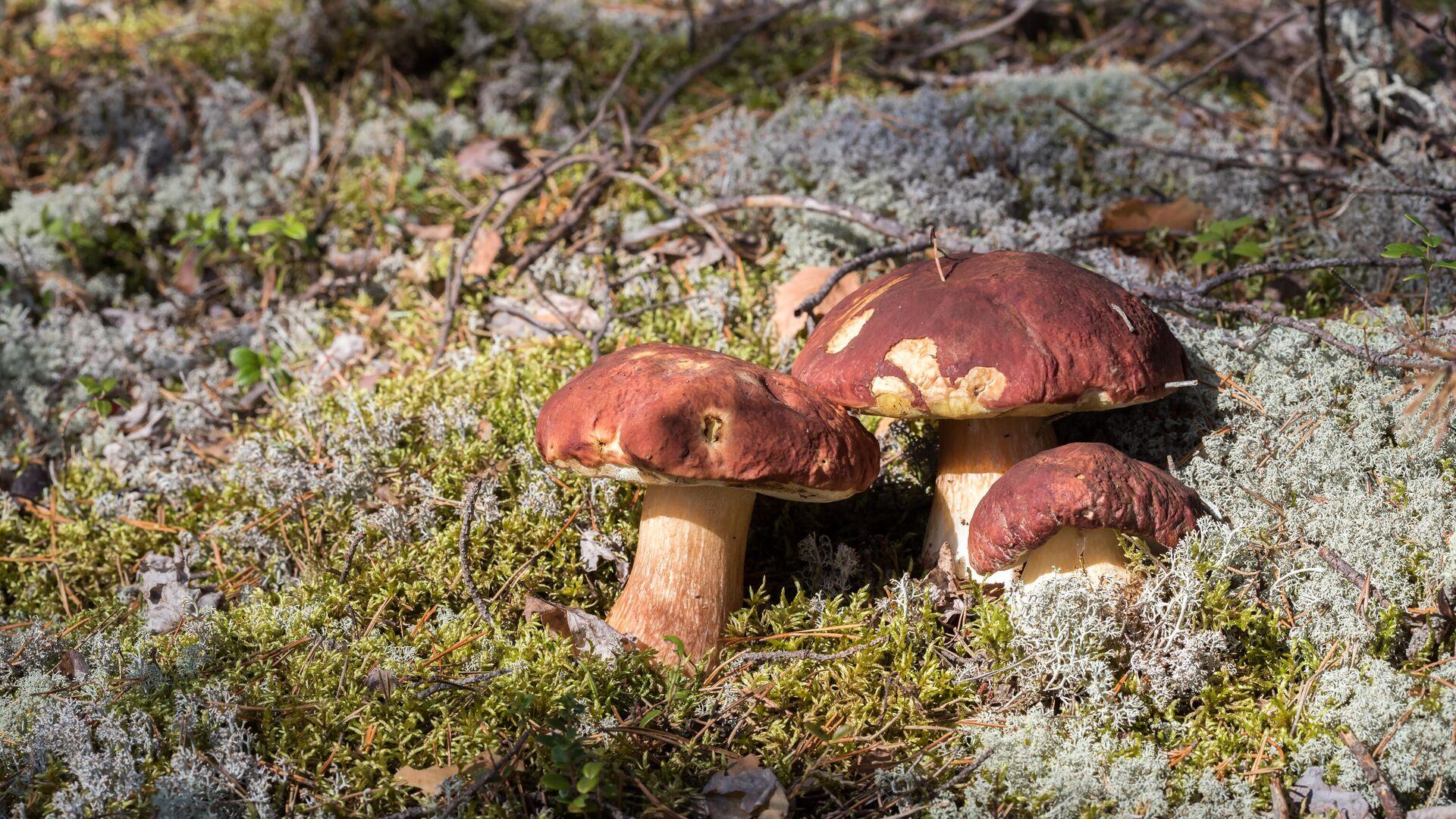 Белые грибы в Суоярвском районе Карелии - РИА Новости, 1920, 30.09.2021