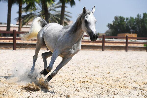 Арабский скакун в загоне на частной ферме по разведению лошадей