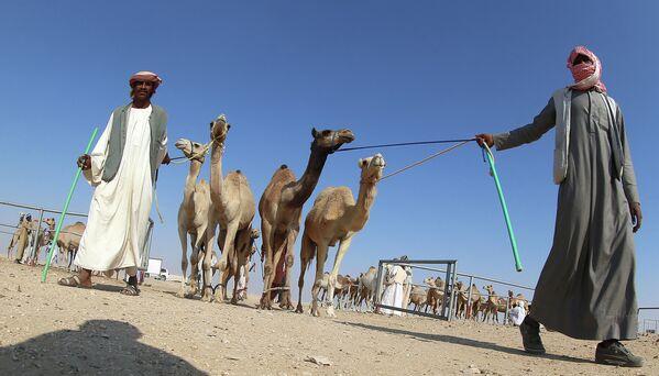 Верблюды, участвующие в верблюжьих бегах во время выгула в пустыне Катара