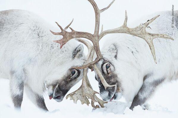 Работа фотографа Stefano Unterthiner в фотоконкурсе Wildlife Photographer of the Year 2021