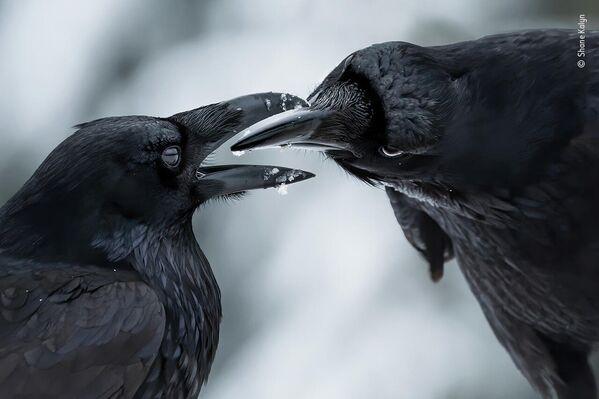 Работа фотографа Shane Kalyn в фотоконкурсе Wildlife Photographer of the Year 2021