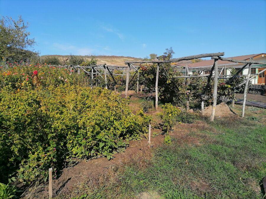 Выращивание винограда донской чашей на хуторе Старозолотовский